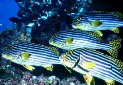'PASSING BY' Sweet Lips under a ledge - Maldives. Housed ... by Rick Tegeler