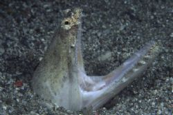 Really quite frightening! Crocodile Snake eel by Richard Smith