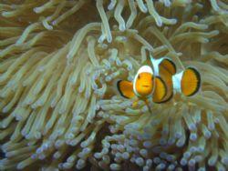 Finding Nemo..... In Tioman.... by Elderly Wong Ming Hong