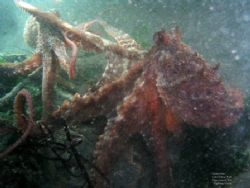 Fighting Octopi. These two baby Giant Pacific Octopi were... by David Andrews