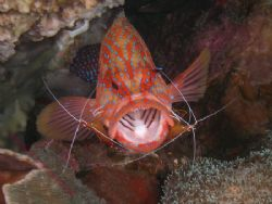 OPEN WIDE Coral Cod with cleaner shrimp doing their best ... by Brad Cox