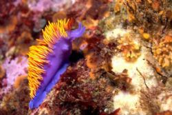 Spanish shawl nudibranch. Photo taken in La Bufadora, Mex... by Dallas Poore