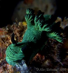 Greenie... nudi in Malapascua... by Alex Tattersall
