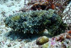 A very friendly Cuttlefish Sea & Sea DX3100 by Marylin Batt