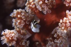 Tiny juvenile Toby hiding in a soft coral for protection by Richard Smith