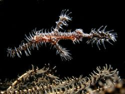 ornate ghost pipefish. Muck dive infront Manado Mall by Cipriano Gonzalez