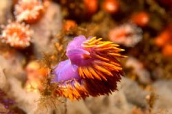 Spanish Shawl Nudibranch - La Bufadora, MX. Canon 350D, 6... by Dallas Poore