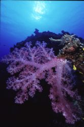 Soft Coral and sun burst by Richard Smith