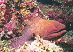 Tdhats A-Moray. Purple Wall, Matangi Island, Fiji. Nikono... by Marylin Batt