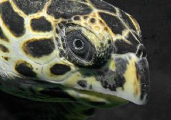 Hawksbill Sea Turtle. Nikon D70 with 60mm lens. by Jim Chambers