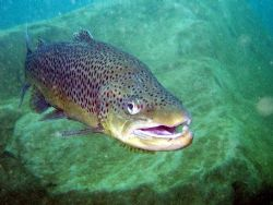 Trout says hello in Capenwray Olymus mju410 by Steve Laycock