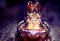 Blenny,f90x camera in aquatica housing,nikon 105 lens by José Silva