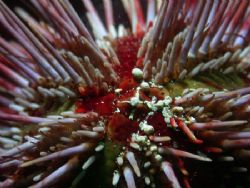 Arbacia dufresnei, a common sea urchin from the strait of... by Cesar Cardenas
