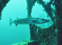 Barren Baracuda - Shot on Spiegel Grove Wreck @ approx. 9... by Michael Salcito