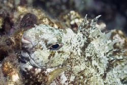 Rabbit fish on a night dive. 