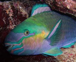 Sleeping Parrotfish taken with DC 500 whilest nightdive a... by Patrick Neumann
