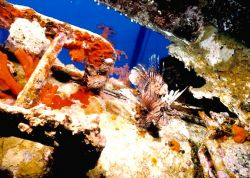 Lion Fish on wreck Gulf of Acaba, Red Sea, Jordan. Nikon... by Marylin Batt