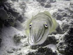 Cuttlefish, taken up close and personal, on a Sony DSC-W1... by Ash Pickering