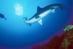 hammerhead shark ,Revillagigedo Is.Nikon F90x camera in A... by José Silva