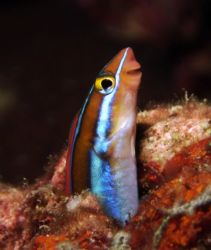 Tube worm blenny taken with DC 500 whilest divesafari at ... by Patrick Neumann