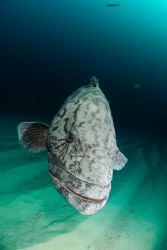 a movie star in the making- our potato bass are just sooo... by Fiona Ayerst