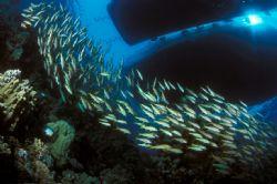 Red sea ,Nikon F90x in aquatica housing,fish-eye lens by José Silva