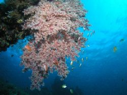 """On the Vine"" Large hanging soft coral on the USAT Libert... by Damien Preston"