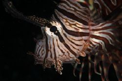 Lionfish portrait - Lembeh. D70, 105mm & twin DS50s. by Simon Pickering