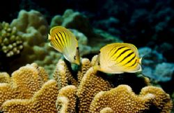 Dot & Dash Butterflyfish photographed at Miri Miri divesi... by Allan Vandeford