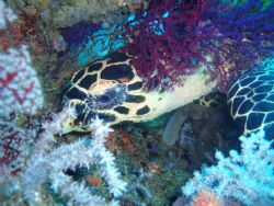 Turtle. Pulau Tioman. Saw a turtle. just took a snap and ... by Bian Kheng Lim
