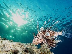 Lionfish taken at Sharksbay on late afternoon dive with E... by Nikki Van Veelen