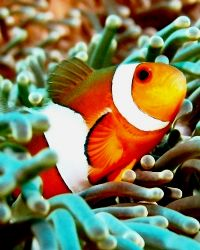 Heads up! Clown fish posing for the camera...taken at Tio... by Mohan Thanabalan