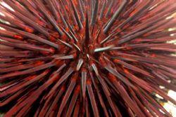 Sea urchin macro - looks dangerous, no? Photo taken in La... by Dallas Poore
