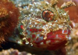 Juvenile Scorpionfish. Photo taken in Waialua, HI. 4 ft o... by Mathew Cook