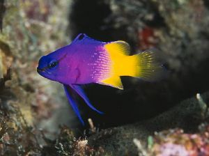 The fairy basslet, taken with a Nikon F100 and 60mm Micro... by Luiz Rocha