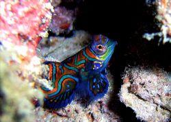 Mandarinfish. Kapalai, Borneo. 2006. Sea and Sea DX80000.... by Leigh Chapman