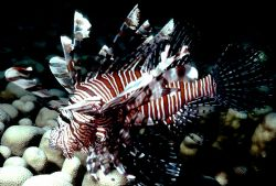 'ZEBRA FIREFISH' Known by a variety of names throughout t... by Rick Tegeler