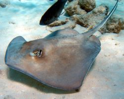 Stingray at Corral Gargend reef- Olypus Sp-350 by Andrew Kubica