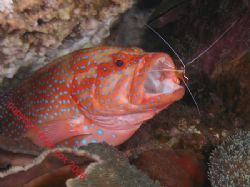 Open Wide Coral Cod and cleaner shrimp. Bali Olympus 7070. by Brad Cox