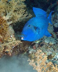 Triggerfish taken at Shark reef, Ras Mohamed Park with E300. by Nikki Van Veelen