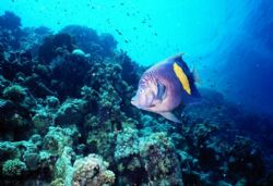 African Angel Fish, Jackson Reef, Strait of Tiran, Sharm ... by Erich Reboucas