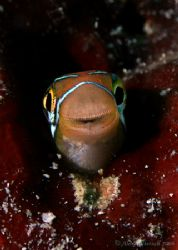 Canon 400D test run.. smiley face of the fangblenny.... 6... by Alex Tattersall