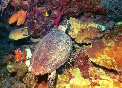 Turtle, Angel, Rock beauty, Corals & sponges, Nikonos 15m... by Michael Salcito
