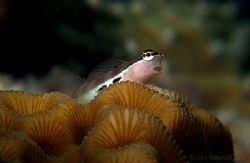 Blenny !! What a cute one...  E900 plus macro.. by Alex Tattersall
