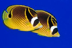 Pair of raccoon butterflyfish. Canon 20D, Canon 60mm macr... by Kristin Anderson