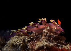 Flabolina Exoptata nudi in Mabul.. e900 again.. two macros.. by Alex Tattersall