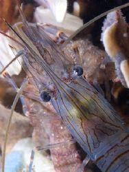 Common prawn. Night dive in Menai strait. D200, 60mm. by Derek Haslam