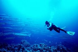 Diver and Barracudas, Ras Um Sid, SSK, Egypt by Erich Reboucas