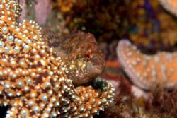 Painted greenling having a siesta on a starfish in La Buf... by Dallas Poore