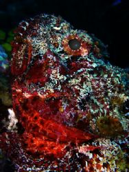 Close in on a scorpion fish, taken in The South Water Cay... by Martin Spragg